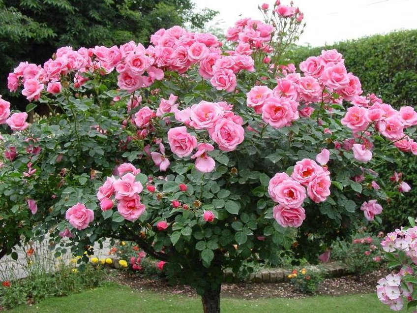 Роза плетистая — посадка и уход за кустом на дачном участке