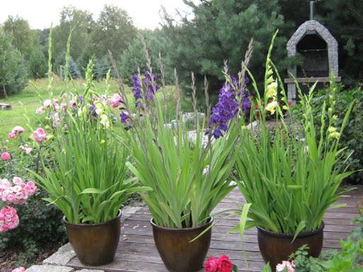 Как посадить гладиолусы в горшок в саду — правила выращивания и ухода