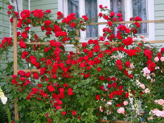Плетистая роза — как посадить и ухаживать за цветком в саду