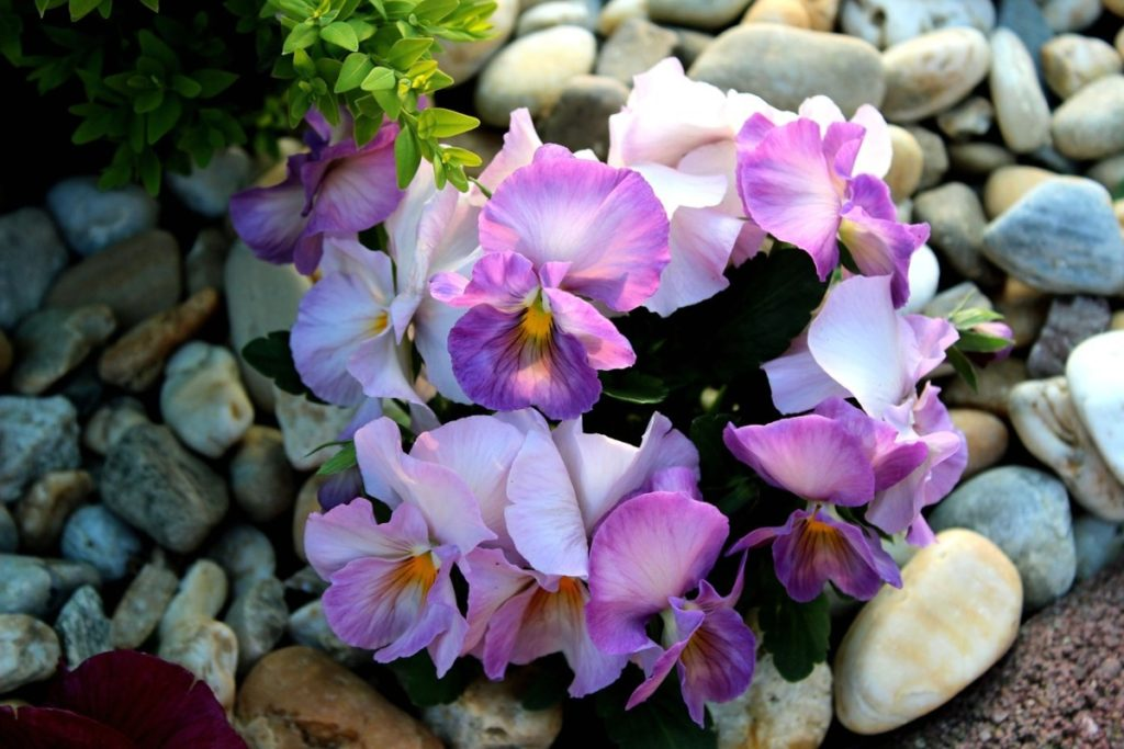 Цветы анютины глазки — посадка и уход на даче