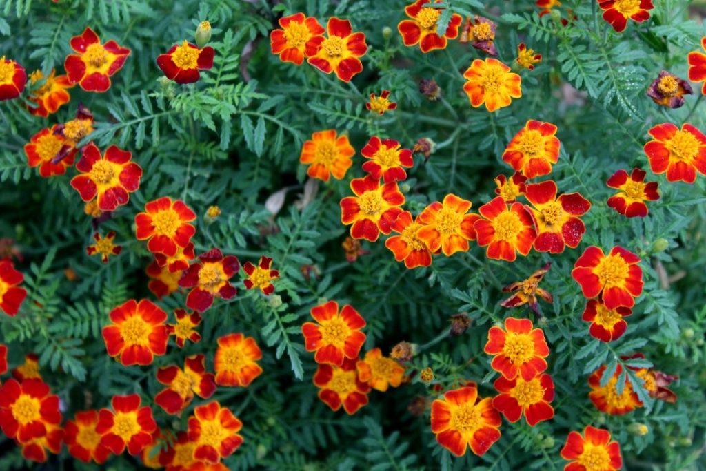 Какие неприхотливые цветы для дачи можно посадить на клумбе возле дома