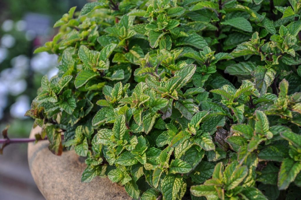 Растения, отпугивающие комаров и мошек на даче