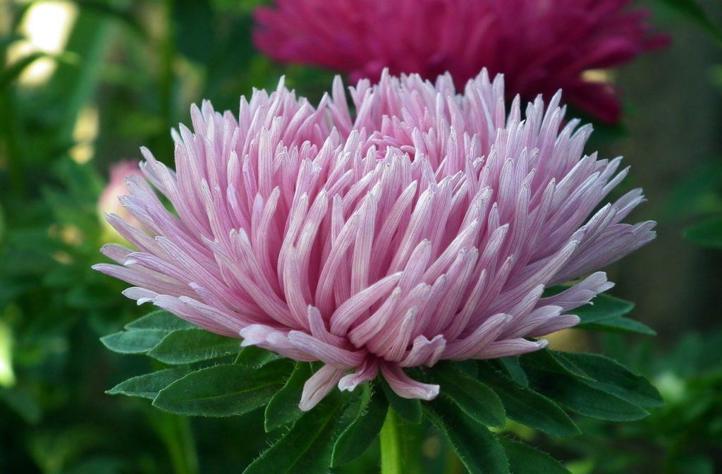 Цветок астра — как посадить и ухаживать за растением на даче
