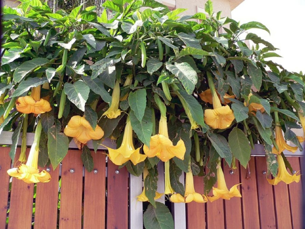 Бругмансия цветок — особенности посадки и ухода в открытом грунте