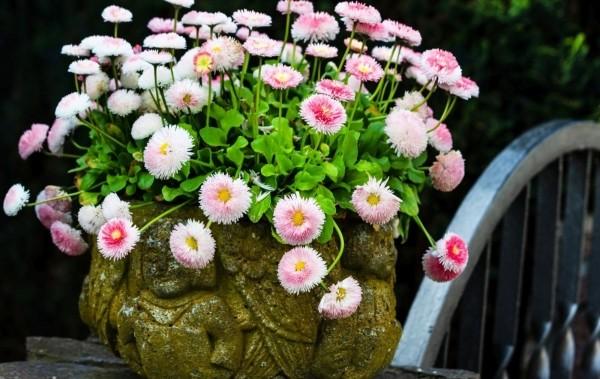 Как посадить и выращивать многолетние цветы маргаритки на даче