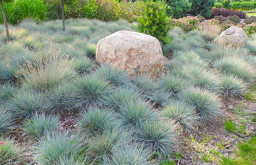 Овсяница луговая для газона — посадка, выращивание и уход