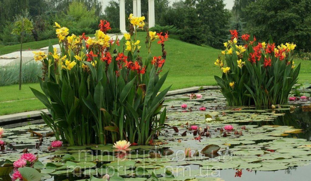 Как посадить цветы канны и ухаживать за многолетним растением в саду