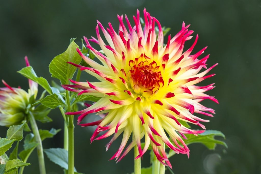 Цветы георгины — как выглядят и как правильно за ними ухаживать в саду