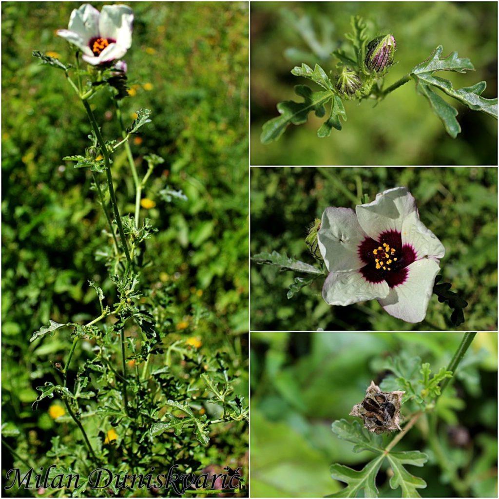 Гибискус садовый — нюансы посадки и ухода за кустарником на даче