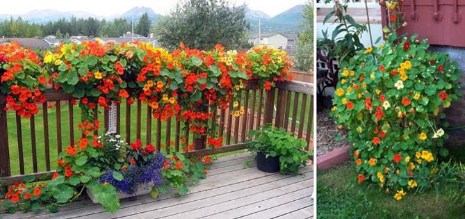 Однолетние вьющиеся цветы для сада — особенности выбора и выращивания