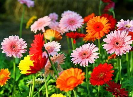 Гербера садовая — как посадить и выращивать цветок на даче