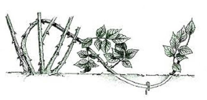 Как размножить садовую розу — способы разведения растения