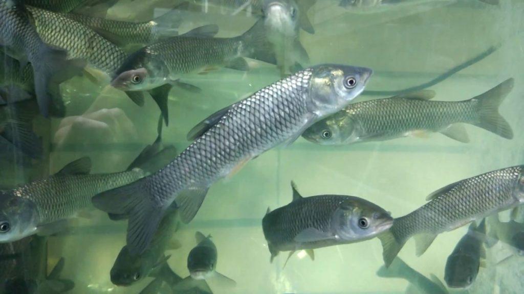 Прудовые рыбы в небольших прудах на дачном участке