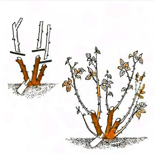 Как обрезать розы на зиму — назначение и время проведения