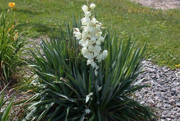 Юкка садовая — как посадить и ухаживать за цветком на клумбе в саду
