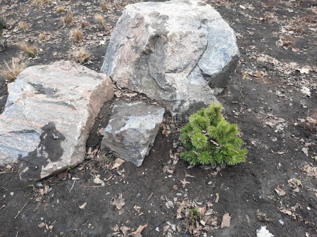 Горная сосна в ландшафтном дизайне загородного дома