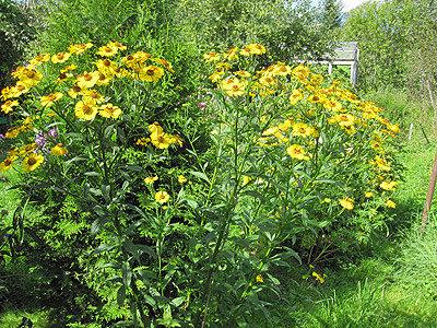 Высокие многолетние цветы для сада — виды, названия и описания, уход