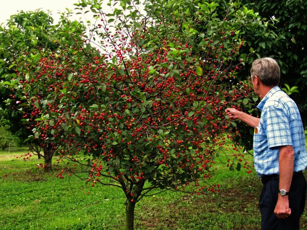 Дерево вишня в ландшафтном дизайне участка