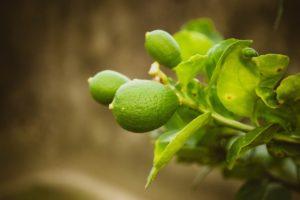 Дерево авокадо в ландшафтном дизайне дачи