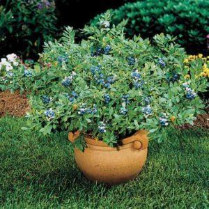 Голубика садовая — посадка и выращивание кустарника на дачном участке