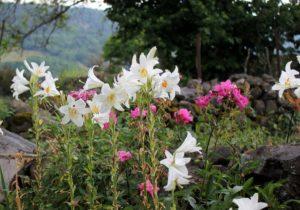 Лилия садовая — как посадить и ухаживать за цветком на даче