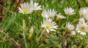Анемона многолетняя — посадка и выращивание цветка в саду