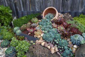 Как посадить каменную розу в саду — советы по выращиванию суккулента