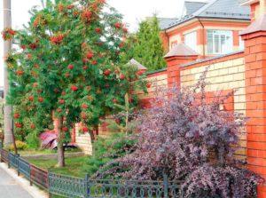 Дерево рябина в ландшафтном дизайне дачи