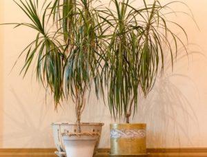 Пальма для дома — красивые декоративные и неприхотливые
