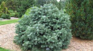 Декоративные елки для украшения сада