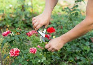 Пересадка роз осенью на другое место с пошаговой инструкцией
