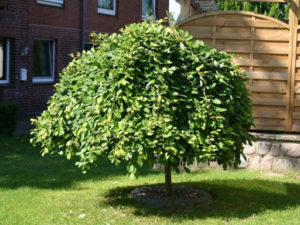 Ива на штамбе — как сформировать дерево своими руками на даче